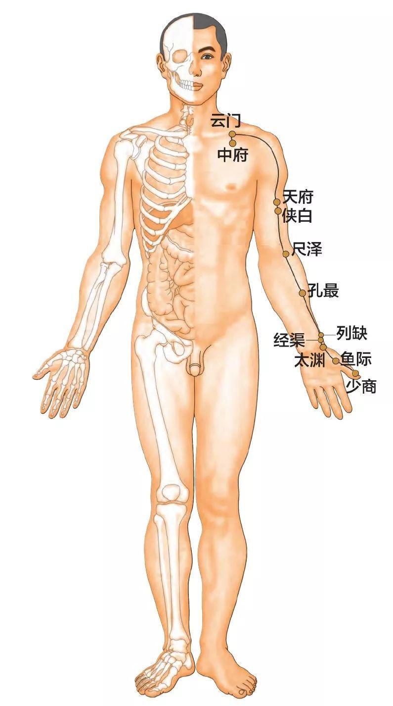 手太阴肺经11个高清穴道图